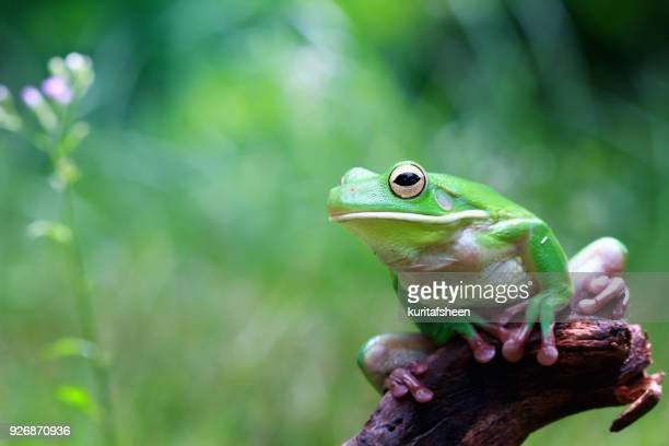 white lipped tree frog on a branch, indonesia - grenouille photos et images de collection