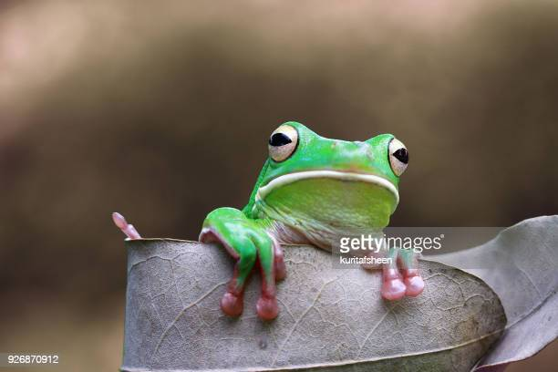 White lipped tree frog on a leaf, Indonesia