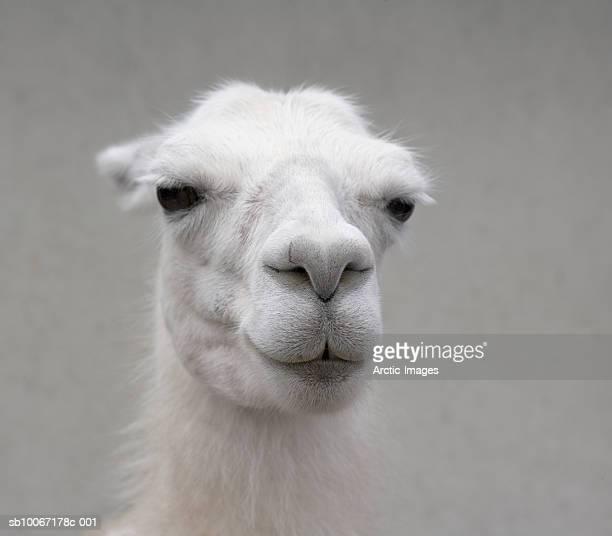white llama, (lama pacos), close-up - llama animal fotografías e imágenes de stock