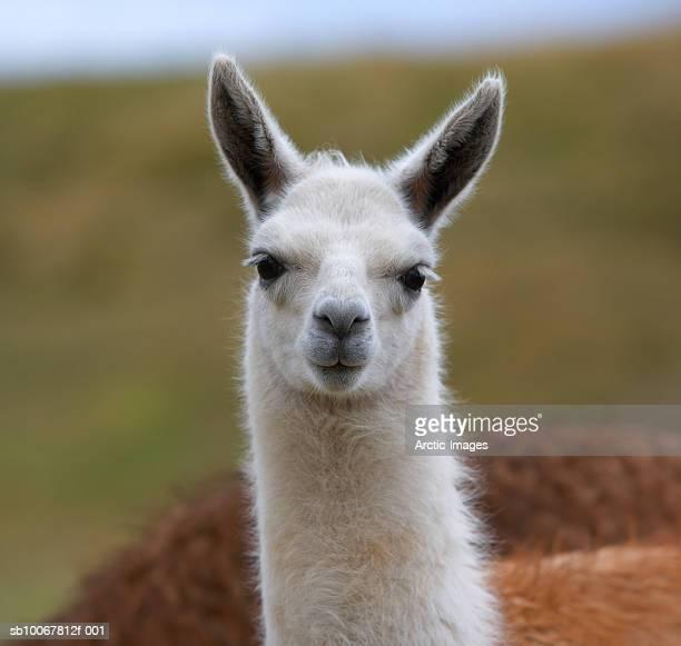 white llama (lama pacos), close-up - lama photos et images de collection