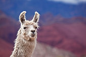 White llama in argentina south america Salta province