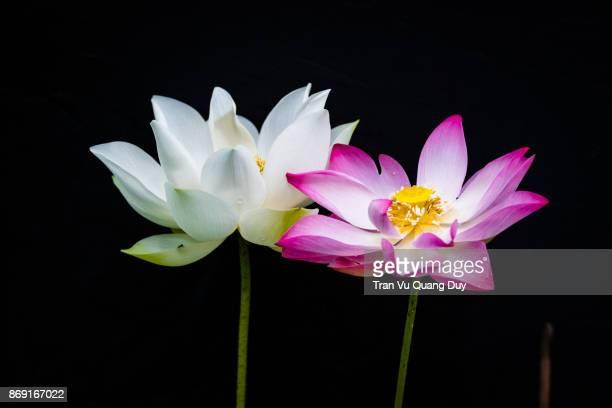 white lotus blooms in the pond - aquatisches lebewesen stock-fotos und bilder