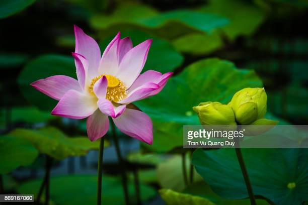 White lotus blooms in the pond