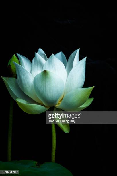 White lotus blooms in the pond, under the dawn.