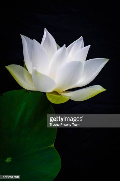 White lotus blooms on the green leaves in lake.