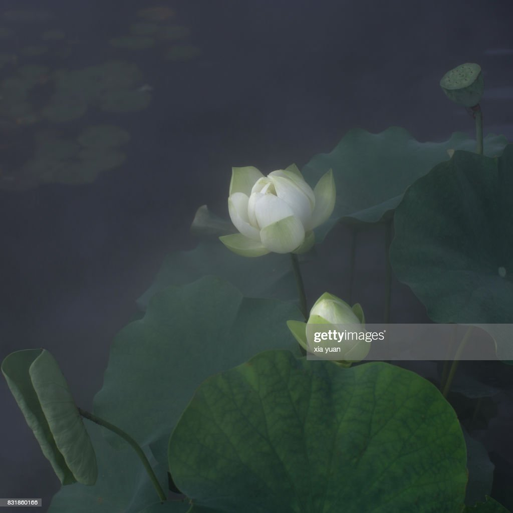 White lotus flower growing on mist over waterhangzhouchina stock white lotus flower growing on mist over waterhangzhouchina stock photo izmirmasajfo