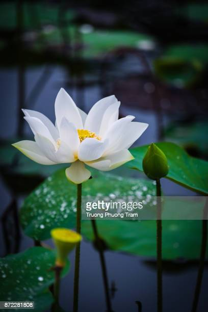 White lotus flower is blooming on the green leaves in the lake