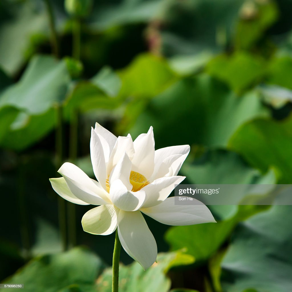 White Lotus Flower Stock Photo Getty Images
