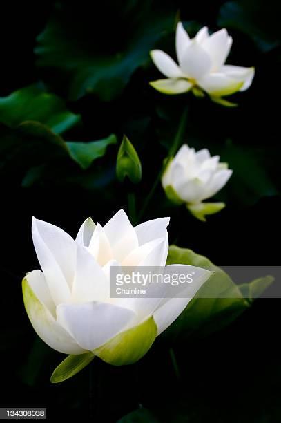 white lotus on black background - 平塚市 ストックフォトと画像