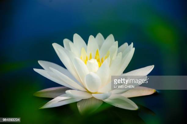 white lotus-2 - lotus flower stock photos and pictures