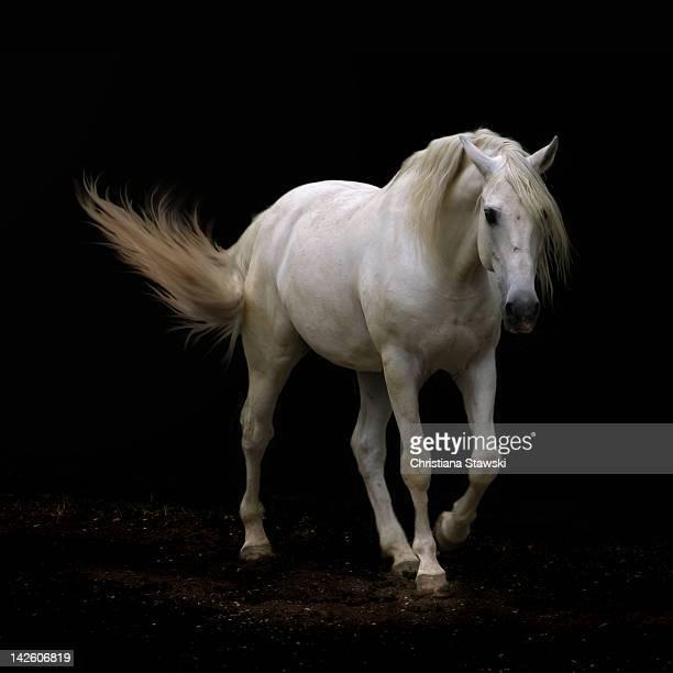 White Lusitano horse walking