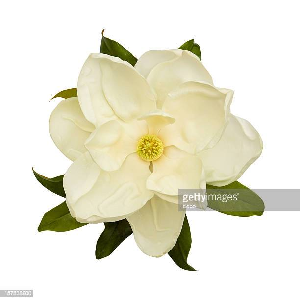 white magnolia flower - magnolia stock photos and pictures