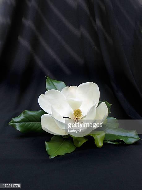 White Magnolia on Black