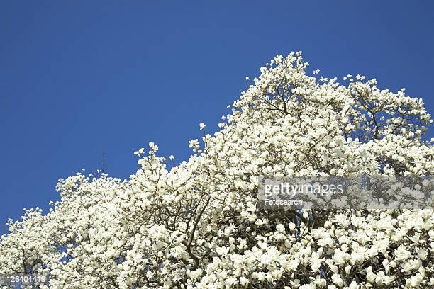 white magnolia - kanto region - fotografias e filmes do acervo