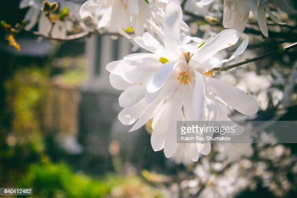 White Magnolia Star Blooming