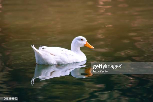 white mallard duck - one animal stock pictures, royalty-free photos & images
