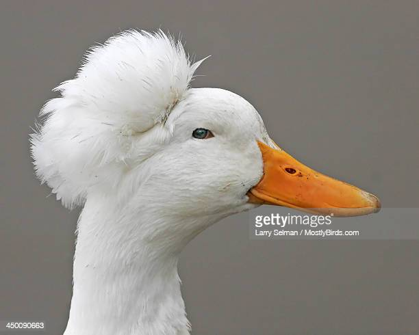white mallard (with crown) - snavel stockfoto's en -beelden