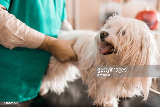 white maltese dog at veterinarian's office. - maltese dog stock pictures, royalty-free photos & images