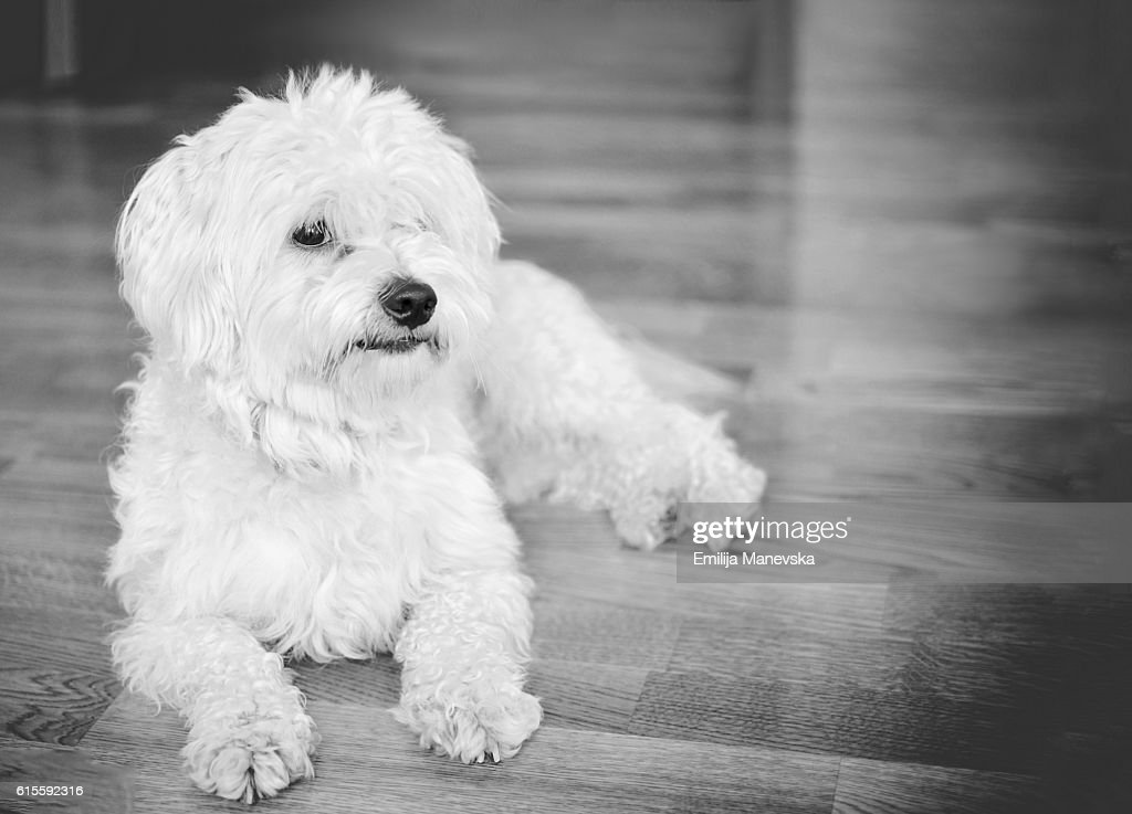 White Maltese Dog Looking at Camera : Stock Photo