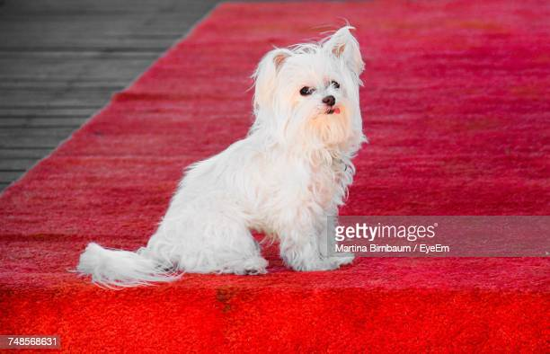 White Maltese Dog On Red Carpet