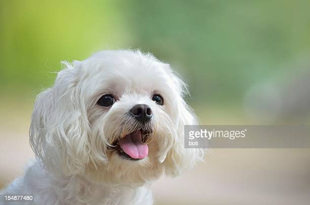 White maltese dog sticking out tongue