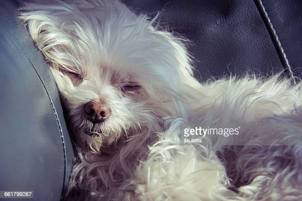 White Maltese puppy dog sleeping on leather couch