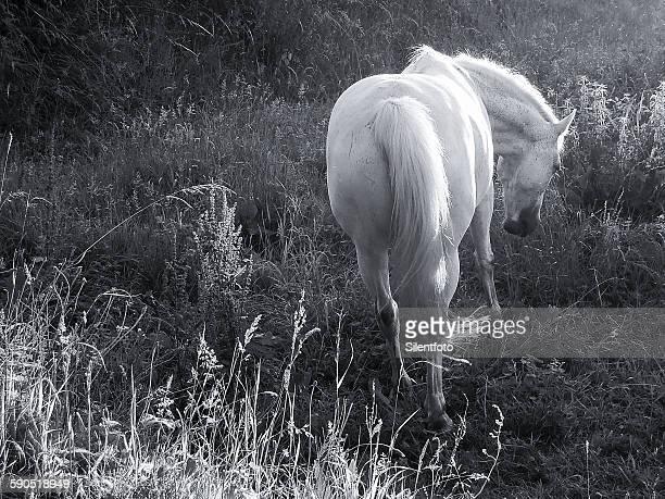 white mare in french field - 動物の身体各部 ストックフォトと画像