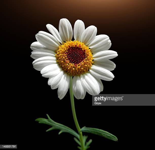 white marguerite - marguerite daisy stock photos and pictures