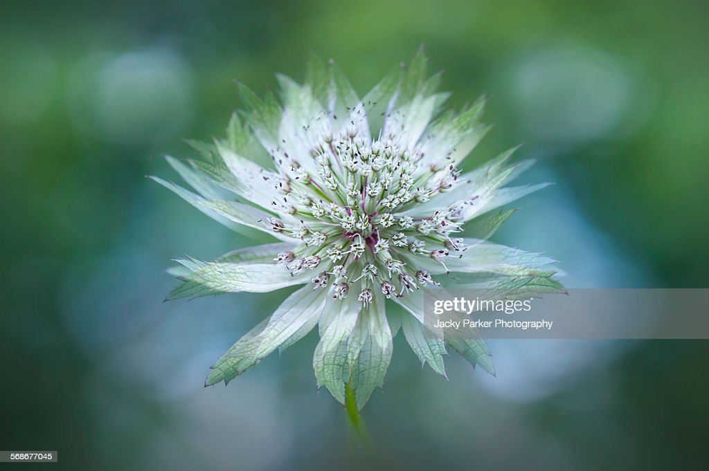 White masterwort flower : Stock Photo