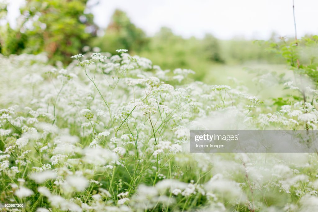 White meadow flowers stock photo getty images white meadow flowers stock photo mightylinksfo