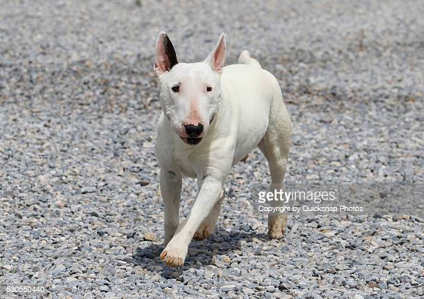 white mini bull terrier walking - bull terrier stock photos and pictures