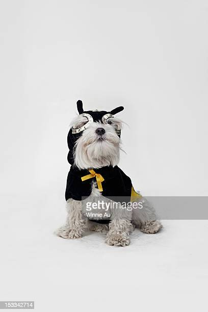 a white mixed breed dog wearing a superhero mask and cape - dog mask stock pictures, royalty-free photos & images