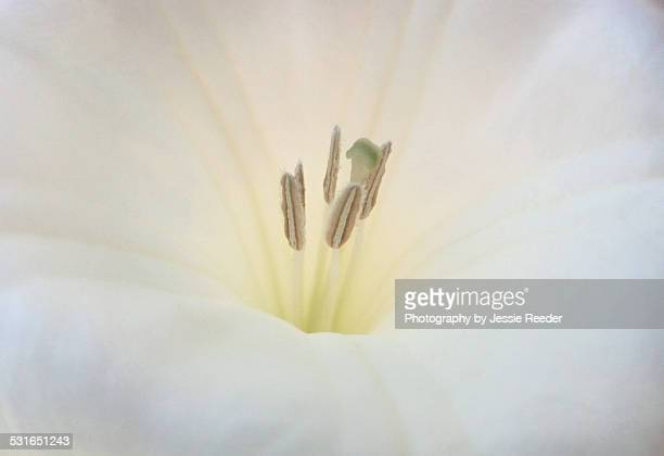 white moonflower macro - radial symmetry stock pictures, royalty-free photos & images