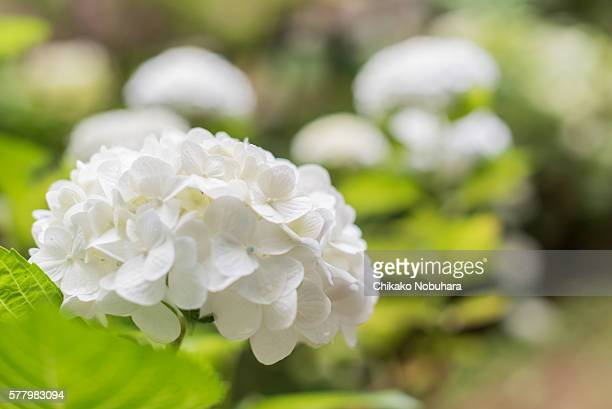 white mophead hydrangea - hydrangea stock pictures, royalty-free photos & images