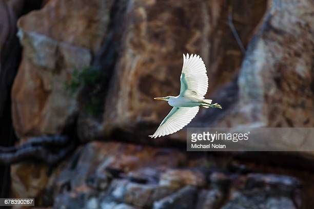 White morph of the Pacific reef heron (Egretta sacra), Mitchell River National Park, Kimberley, Western Australia, Australia, Pacific