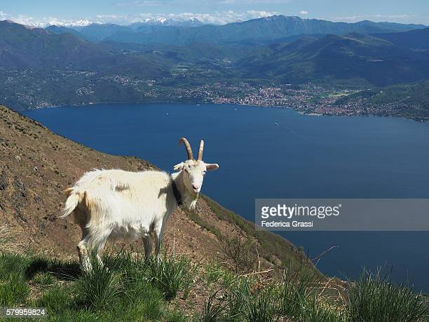 White Mountain Goat On The Mountains Surrounding Lake Maggiore In Northern Italy
