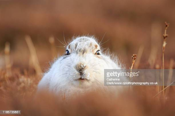 white mountain hare in brown heather in the scottish higlands - grampian scotland stock pictures, royalty-free photos & images