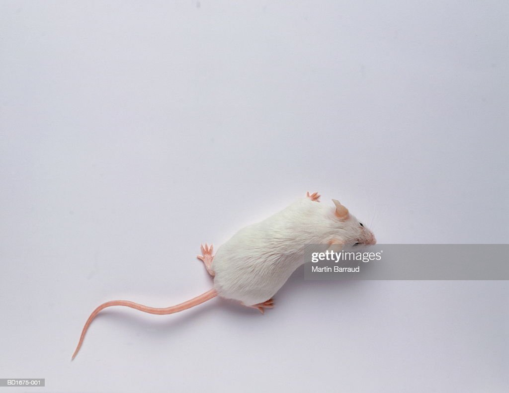 white mouse against white background overhead view stock photo