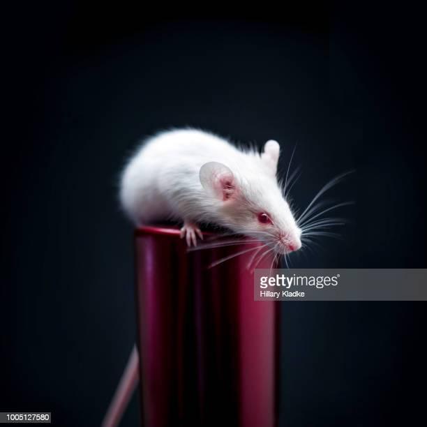 White mouse balancing