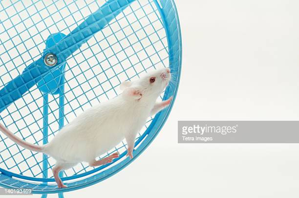 White mouse in exercise wheel, studio shot
