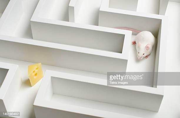 white mouse into labyrinth, studio shot - topolino foto e immagini stock