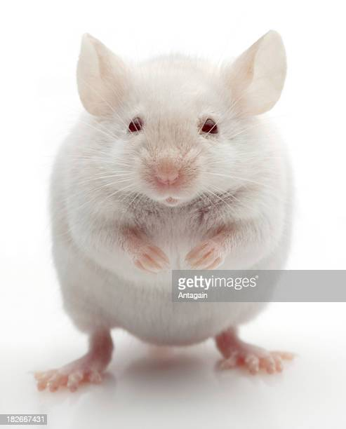 white mouse - cute mouse stock pictures, royalty-free photos & images