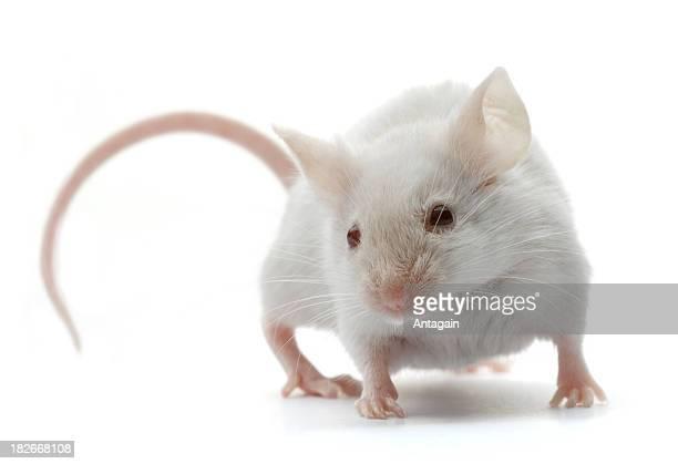 Blanc souris