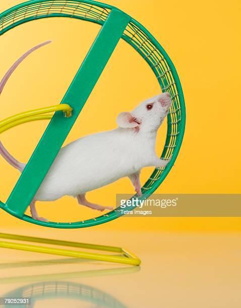 White mouse running on wheel
