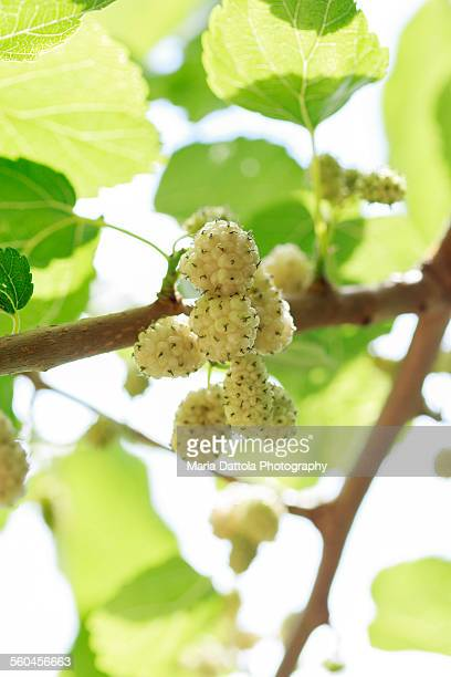 White mulberry with fruits (Morus alba)