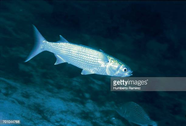 white mullet. - mullet stock photos and pictures