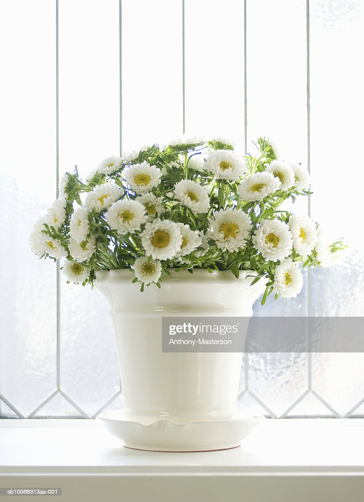 White Mums Flowers In Vase On Window Sill Stock Photo Getty Images
