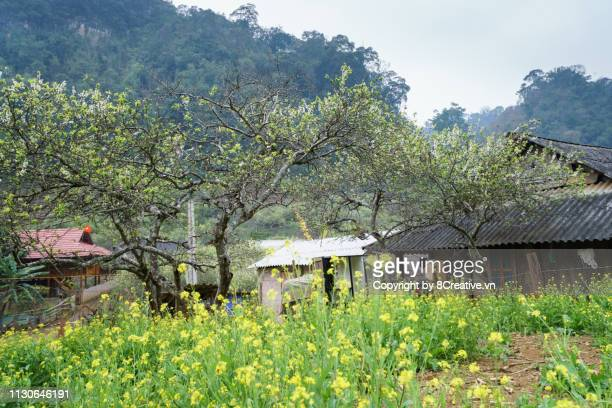 white mustard flowers grow in gadern of ethnic mong house. moc chau, son la, vietnam - son la stock pictures, royalty-free photos & images