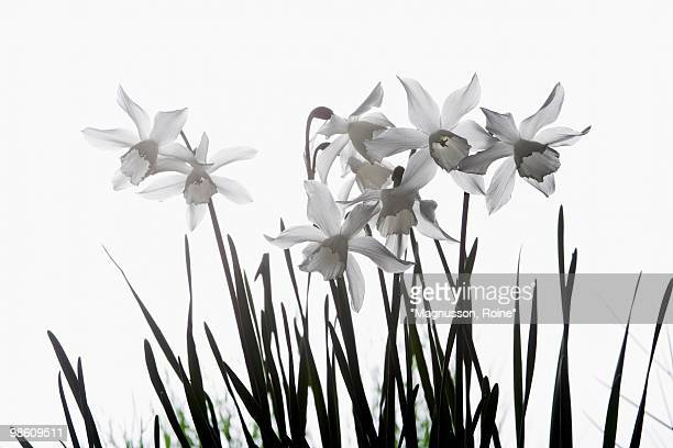 white narcissus against the sky, sweden. - oresund region stock photos and pictures