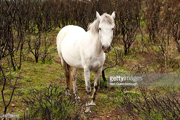 A white New Forest Pony in burnt scrubland